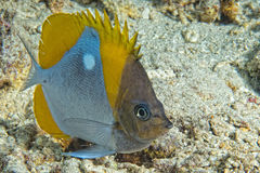 Angel fish looking at you Stock Photos