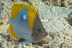 Angel fish looking at you stock photos
