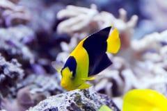 Angel fish. Photo of pomacanthidae angel fish in aquarium Royalty Free Stock Images