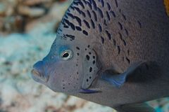 Angel fish (Pomacanthus maculosus) - Red Sea Royalty Free Stock Photography