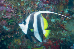 Angel fish Stock Photos