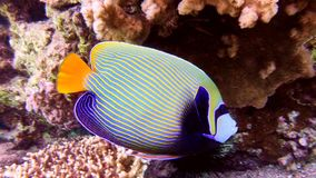 Angel fish in Red sea Royalty Free Stock Photo