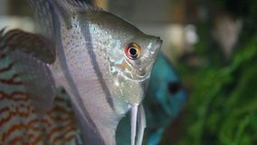 Angel fish. Scalare stock video footage