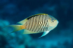 Angel fish swimming under water Stock Photography