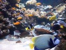 Angel Fish tropical colorido imágenes de archivo libres de regalías