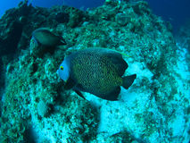 Angel fish underwater. In the caribbean sea royalty free stock photos