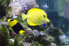 Angel fish and zebrasoma in aquarium Royalty Free Stock Photo