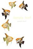 Angel fishes. Angel fish background with space for sample text Royalty Free Stock Photo