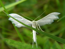 Angel insect. An insect looking like an angel on a grass thread Stock Photography