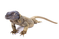 Angel Island chuckwalla (Sauromalus hispidus) Royalty Free Stock Image