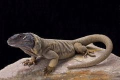 Angel Island chuckwalla (Sauromalus hispidus) Stock Photo