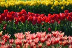 Angel Kiss Tulip - mistura em Veldheer Tulip Garden na Holanda Foto de Stock Royalty Free