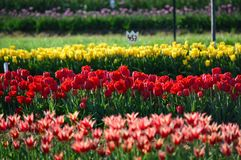 Angel Kiss Tulips - mélange chez Veldheer Tulip Garden en Hollande Photographie stock libre de droits