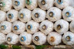 Angel Mushrooms Cultivation Rader av nya Angel Mushrooms, Arkivfoto