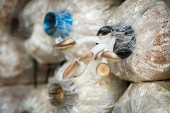 Angel Mushrooms Cultivation Rader av nya Angel Mushrooms, Arkivbild