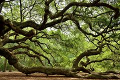 Angel Oak Royaltyfri Bild