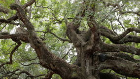 Angel Oak stock footage
