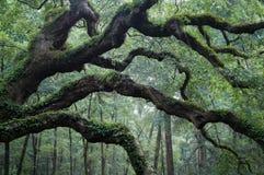 Angel Oak-Baum nahe Charleston Lizenzfreies Stockfoto