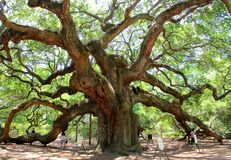 Angel Oak, Charleston fotos de stock royalty free
