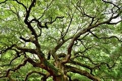 Angel Oak, Charleston, Sc Lizenzfreie Stockfotografie
