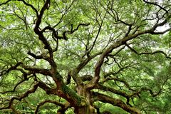 Angel Oak, Charleston, SC Royalty Free Stock Photography
