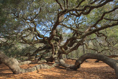 Angel Oak Tree Charleston South Carolina Stock Photo
