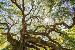 Angel Oak Live Oak Tree stockbilder