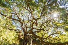 Angel Oak Live Oak Tree lizenzfreies stockfoto