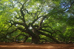 Angel Oak Royalty Free Stock Images