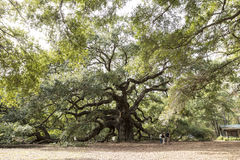 The angel oak near Charleston, South Carolina Royalty Free Stock Photography