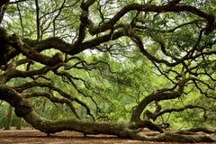 Angel Oak. Side view of the famous Angel Oak Tree, on Johns Island near Charleston, South Carolina Royalty Free Stock Image