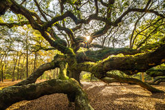 Angel Oak Tree Stockfotos