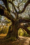 Angel Oak Tree 2 Lizenzfreies Stockbild
