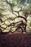 Angel Oak Tree Royaltyfri Fotografi