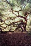 Angel Oak Tree Lizenzfreie Stockfotografie