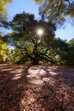 Angel Oak Tree Lizenzfreie Stockfotos