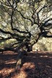 Angel Oak Tree Lizenzfreie Stockbilder