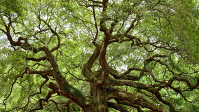 Angel Oak Tree Royaltyfri Foto
