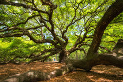 Angel Oak Tree Lizenzfreie Stockbilder