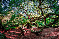 Angel Oak Tree auf John-` s Insel South Carolina Stockbild