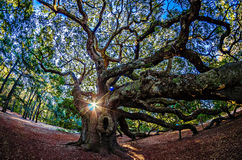 Angel Oak Tree auf John-` s Insel South Carolina Lizenzfreie Stockfotografie