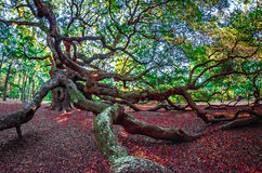 Angel Oak Tree auf John-` s Insel South Carolina Stockfoto