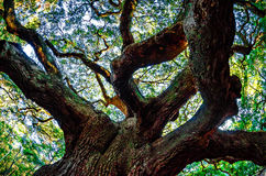 Angel Oak Tree auf John-` s Insel South Carolina Stockbilder