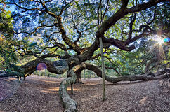 Angel Oak Tree auf John-` s Insel South Carolina Stockfotos