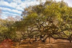 Angel Oak Tree Charleston South Carolina Royalty Free Stock Photo