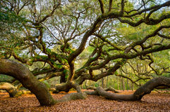 Angel Oak Tree Charleston South Carolina Scenic Nature Photograp Royaltyfri Fotografi