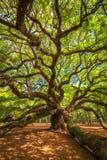 Angel Oak Tree die takken verdraaien royalty-vrije stock foto's
