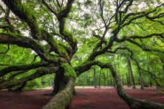 Angel Oak Tree em South Carolina fotografia de stock