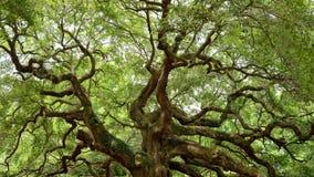 Angel Oak Tree. Full view of the famous Angel Oak Tree, on Johns Island near Charleston, South Carolina Royalty Free Stock Photo