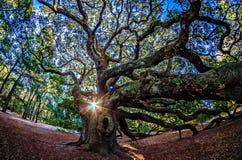 Angel Oak Tree on John`s Island South Carolina Royalty Free Stock Photography